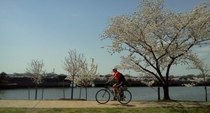 Bicyclist among cherry blossoms at the Tidal Basin